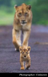 control-camera-lion-cub